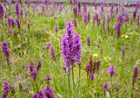 Orchids on green roofs – Part 1