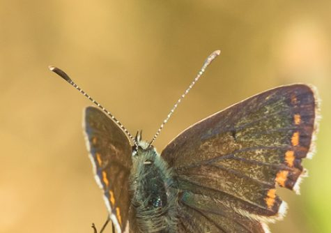 Bringing butterflies on green roofs right to the heart of Scotland