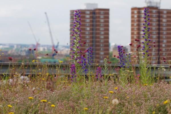 Viper's bugloss on a green roof London Bridge