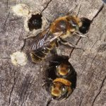 New bee for England – is it using green roofs in London?