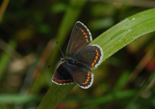 northern-brown-argus-upperwing1-jim-asher-butterfly-conservation-trust-edinburgh-roofs