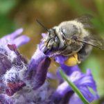Is there a real wild buzz about researching bees on green roofs?