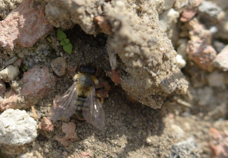buzz of solitary bees on green roofs