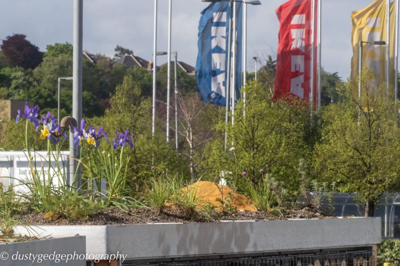 Irises - small green roofs bloom
