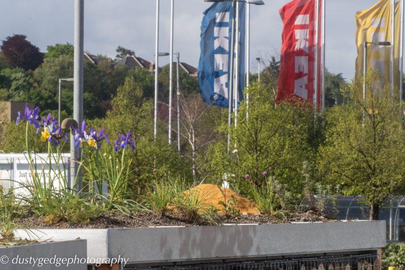 Irises - small green roofs bloom